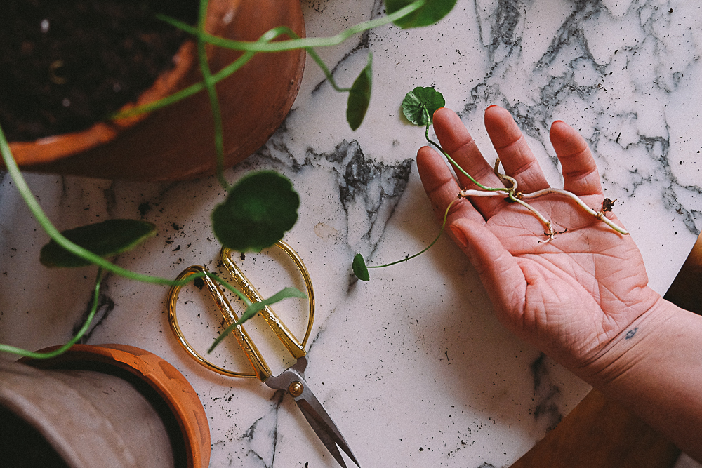 Bouturer une Centella asiatica