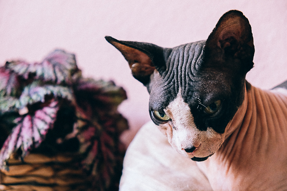Alimentation du chat et petites vérités sur le sphynx