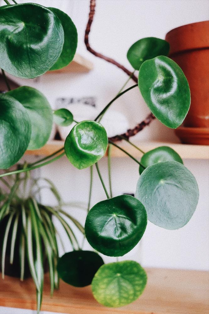 conseils plantes et piléa pépéromioïdes