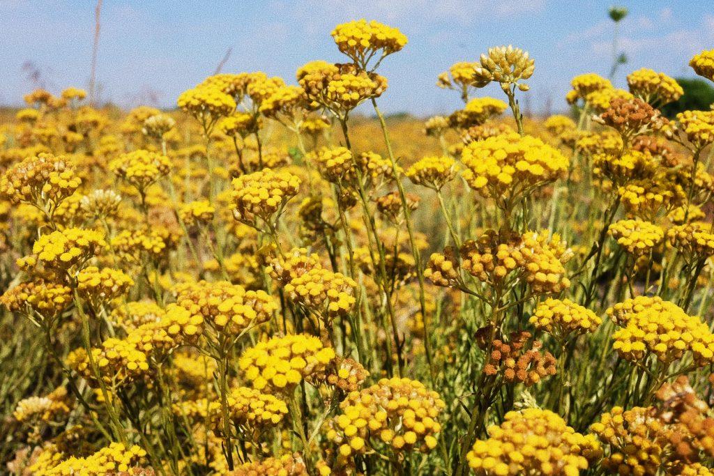 naturactive récolte de l'hélichryse