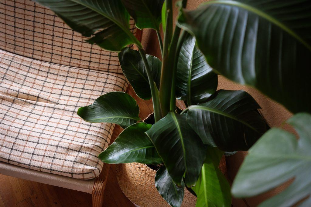 livraison de plante oiseau de paradis
